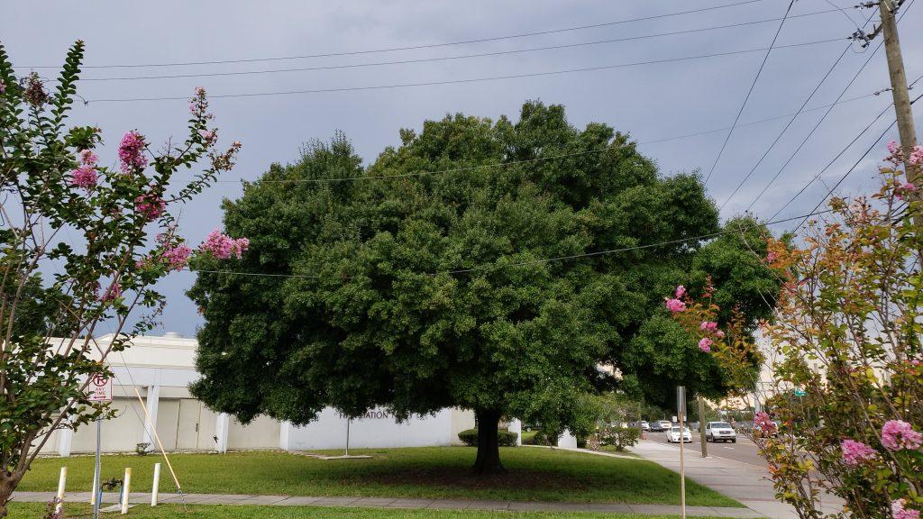 laurel oak framed by two crape myrtles